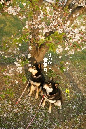 葉桜とちきりん