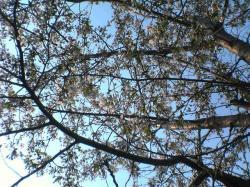エゾ山桜 三分咲き♪