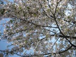 エゾ山桜が満開~♪
