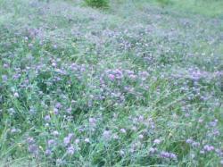 クローバーが花盛り
