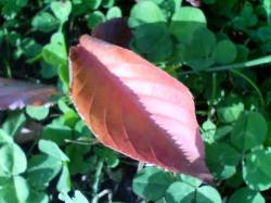 紅い葉っぱが落ちて・・・