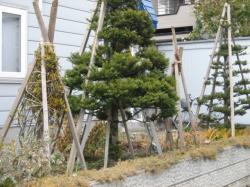 冬囲いの木たち