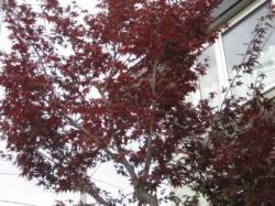真っ赤な葉がきれいです