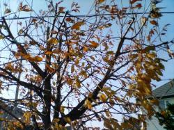 サクランボの木も葉が落ちて寒そうです(^_;)
