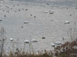 永山新川に飛来した白鳥たち