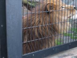 ライオンのライラ
