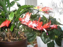 赤いデンマークカクタスと白いシクラメン