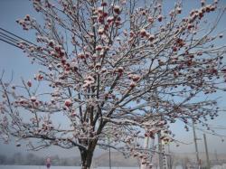 旭川の木 ナナカマド