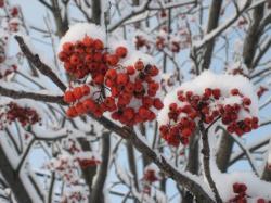 赤い実が雪をかぶって(^^)