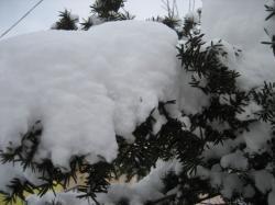 重い雪がどっしりと枝に積もって
