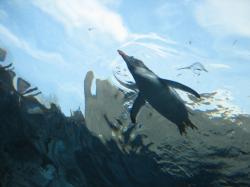 水中トンネルのジェンツーペンギン