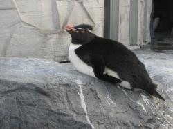 岩の上でお昼寝?のイワトビペンギン