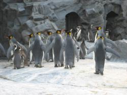 優雅で美しいキングペンギン
