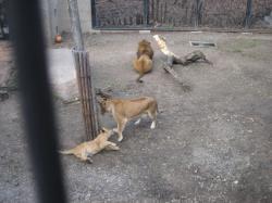 ライオンのアキラがお母さんとじゃれて(#^.^#)