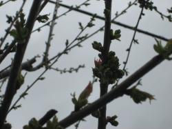 さくらんぼの花もピンクがちらっと・・・