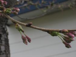 エゾ山桜ももうすぐ咲きます(*^_^*)