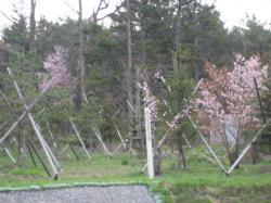 神楽岡公園の桜も開花