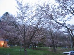 桜はほぼ満開(*^_^*)
