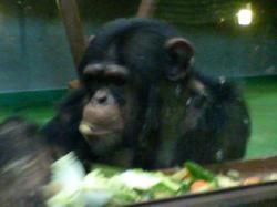 チンパンジーのお食事風景