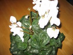 真っ白な花を咲かせたシクラメンです(#^.^#)