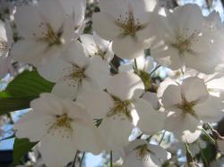 近くで見るとかわいいよね(エゾ山桜)