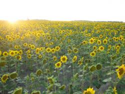 ひまわり畑に沈む夕陽