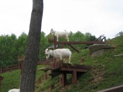 第2こども牧場のヤギ 高いえさ場で食べます(^^)