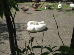 白鳥はこうやって寝るのね~…(__).。oO