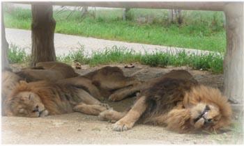 ライオンも。