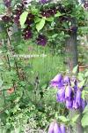 clematis_vioret200602.jpg