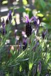 lavender_s200702.jpg