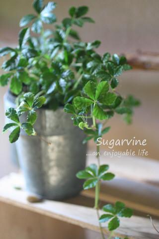 sugarvine02.jpg