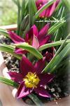 tulip_pur02.jpg