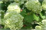 viburnum200604.jpg