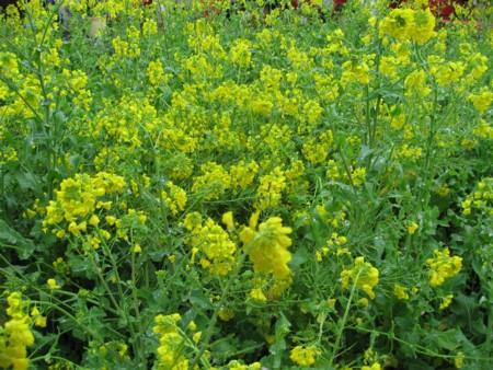河津 菜の花