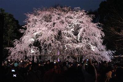 六義園 しだれ桜のライトアップ
