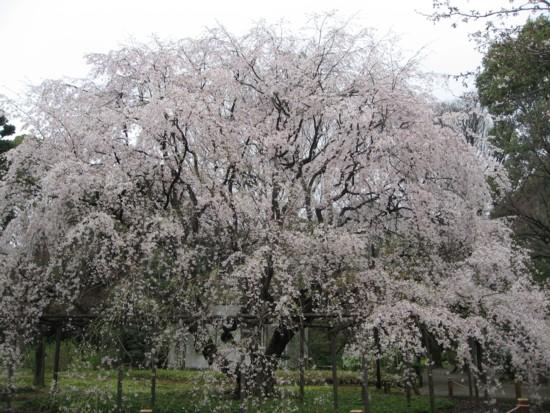 六義園 しだれ桜1