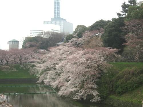 千鳥 桜1