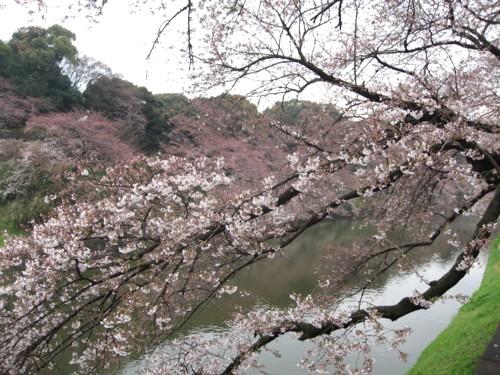 千鳥 桜2