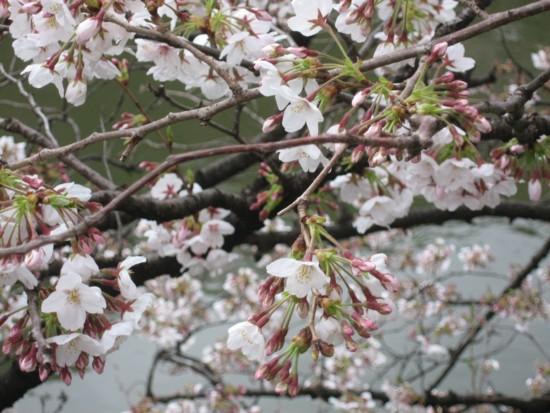千鳥 桜3