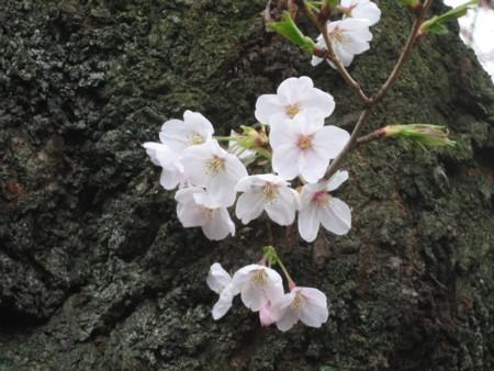 千鳥 桜4
