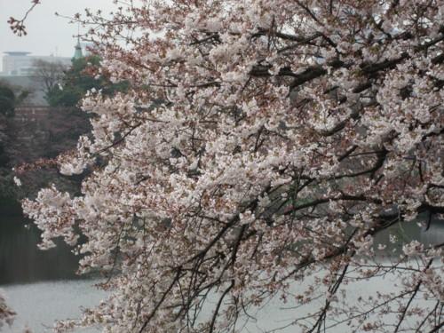 千鳥 桜5