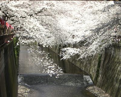 桜2009-4-001