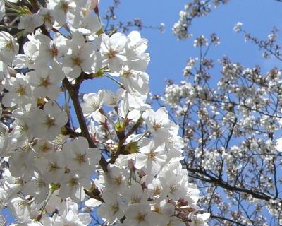桜2009-4-002