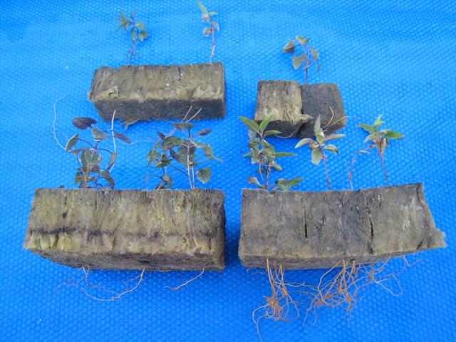 ロックウール播種