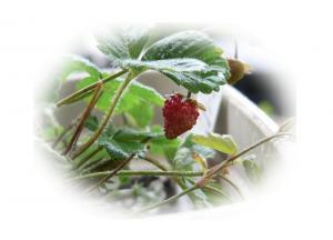 080123strawberry.jpg