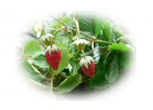 071129strawberry2