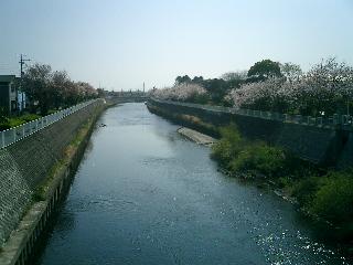 引地川 桜