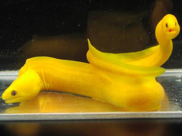 ヒメウツボ 黄化体 1