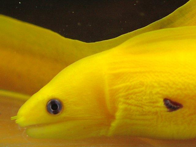 ヒメウツボ 黄化体 2